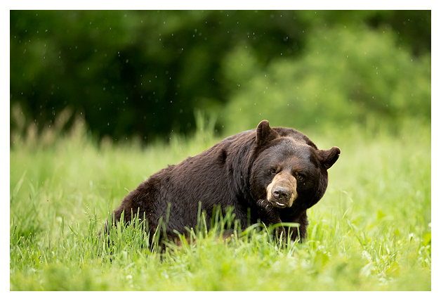 Black Bear Male 2