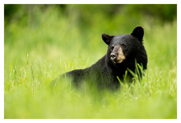 Black Bear Male 3
