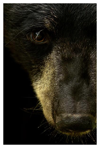 Black Bear Male 4