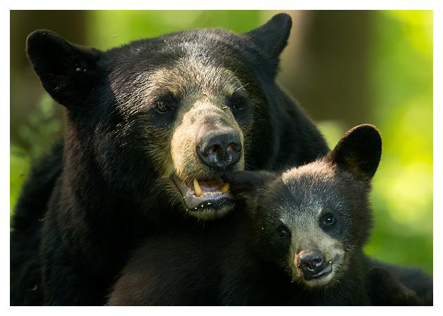 Black Bear female and Spring Cub 1