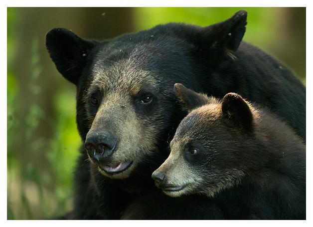 Black Bear female and Spring Cub