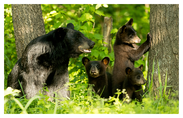 Black Bear female and Spring Cubs blog