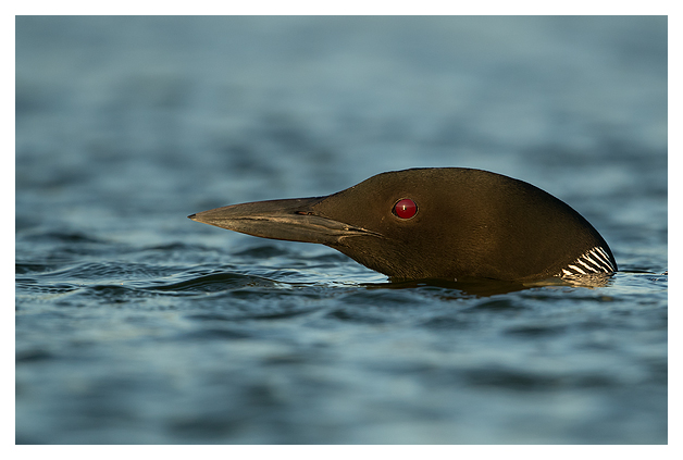 Great Northern Diver 1