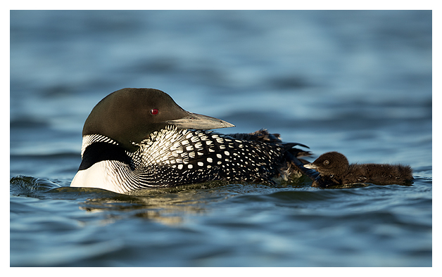 Great Northern Diver and Chick 1