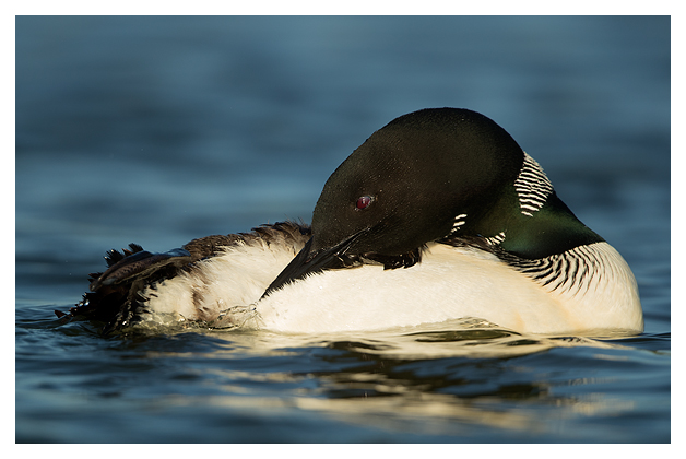 Great Northern Diver preening