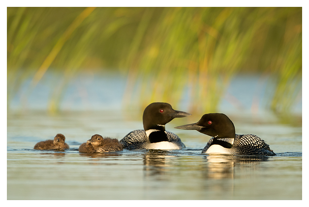 Great Northern Divers and Chicks