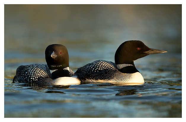 Great Northern Divers