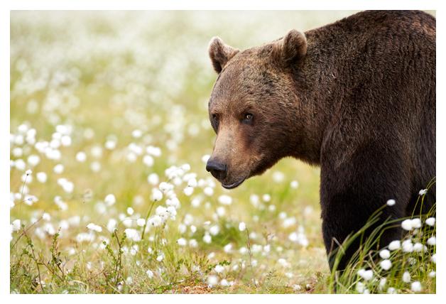 Male-bear-in-swamp-4