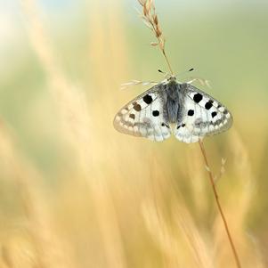 apollo-butterfly-2-301
