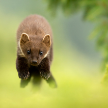 behaviour-pine-marten-jumping-towards-me-bwpa-2016_danny-212