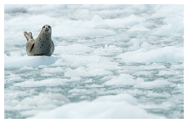 common-seal-resting-on-ice