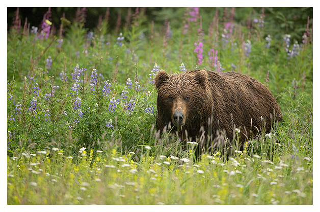 female-grizzly-amongst-wild-flowers