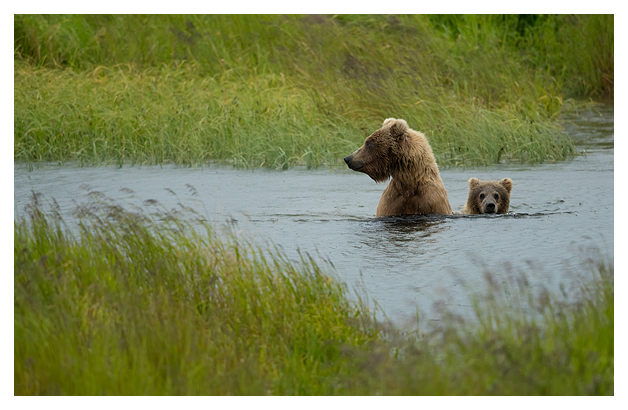 grizzly-bear-female-and-cub-crossing-a-river
