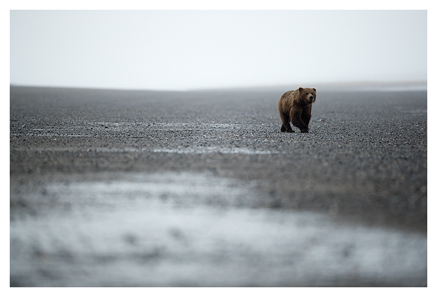 grizzly-bear-walking-along-a-remote-beach