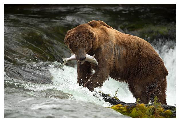 grizzly-bear-with-a-fish-1