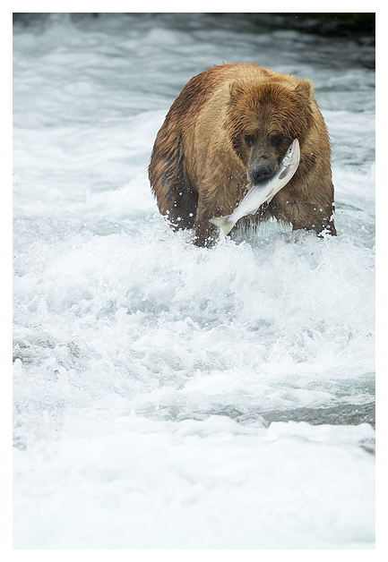 grizzly-bear-with-a-fish-2