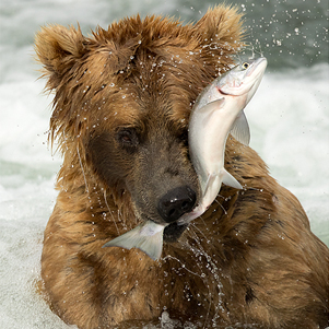 grizzly-bear-with-a-fish-301