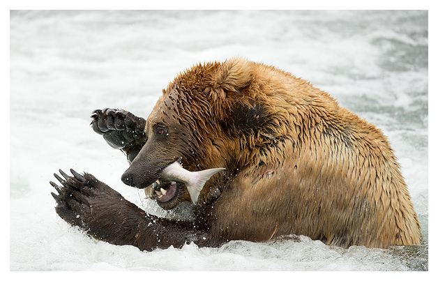 grizzly-bear-with-a-fish-5