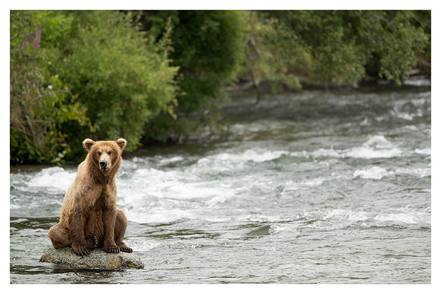 grizzly-fishing-in-the-rapids-1