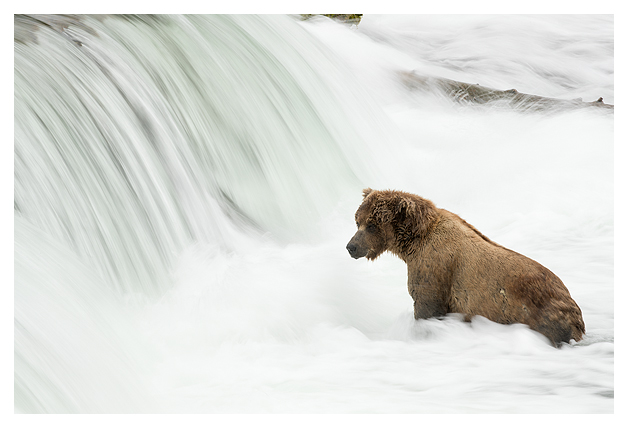 grizzly-fishing-in-the-rapids