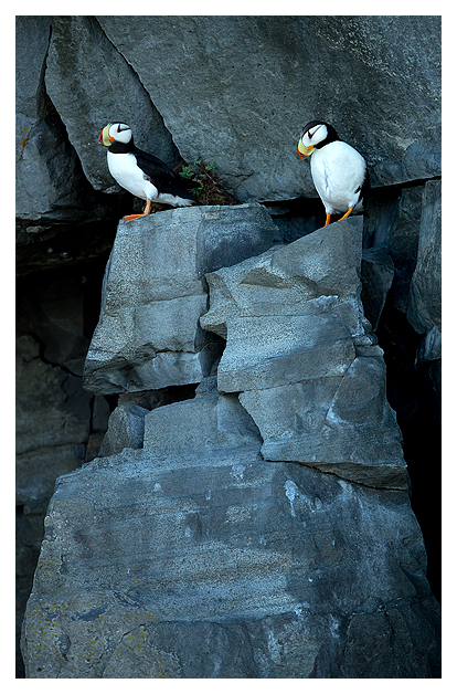 horned-puffins-1