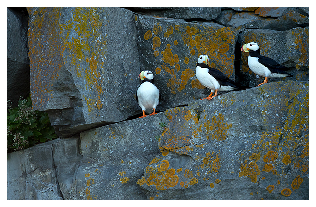 horned-puffins