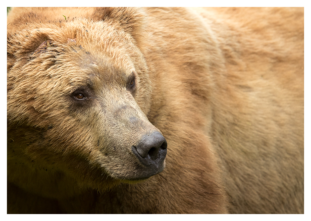 male-grizzly-portrait