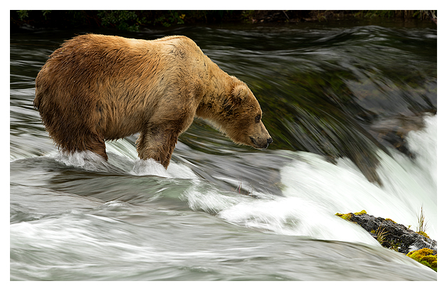 male-grizzly-standing-at-the-falls-1