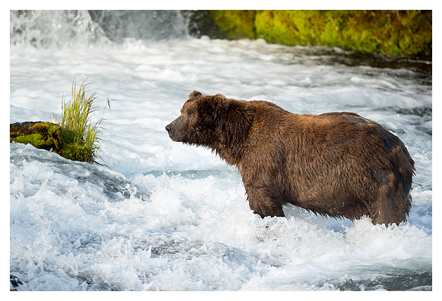 male-grizzly-standing-at-the-falls