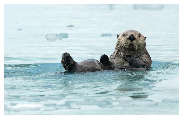 sea-otter-resting