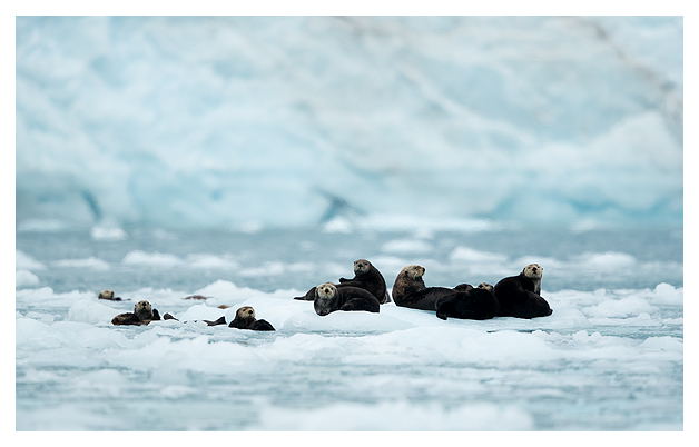 sea-otters-amongst-glacier-ice-6