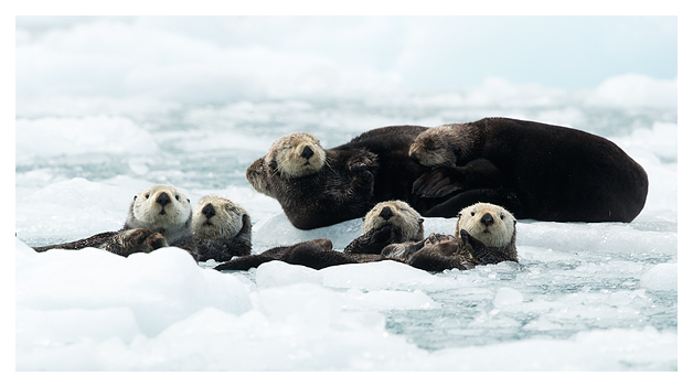 sea-otters-resting-on-ice-3