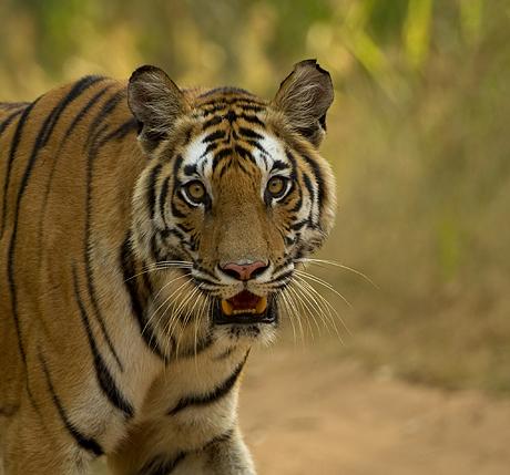majestic_tigers_460_429