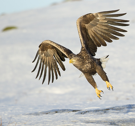norways_winter_eagles_460_429