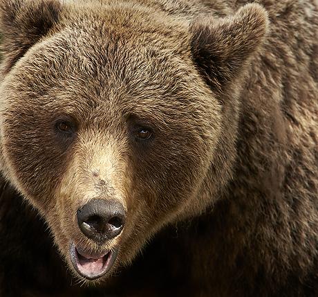 wild_brown_bears_460_429