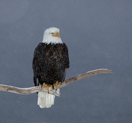 Bald Eagle (Haliaeetus leucocephalus) perched, Kenai Peninsula, Alaska, USA
