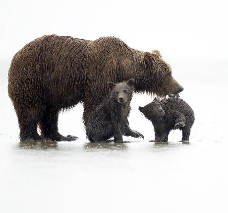 alaskan_brown_bears_salmon_spectacular_460_429