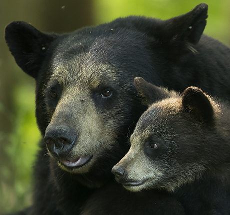 black_bears_and_divers_460_429