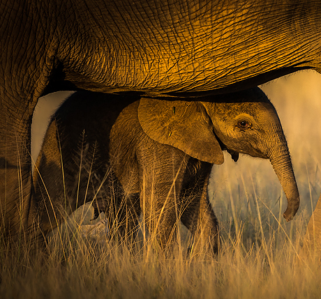 elephant_extravaganza_460_429