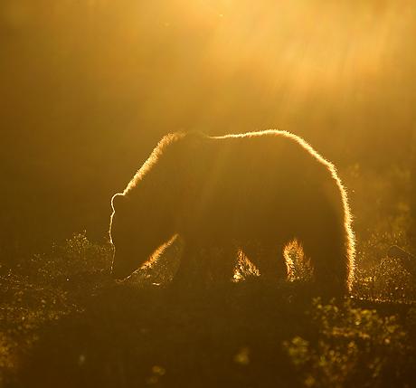 finnish_bears_special_460_429