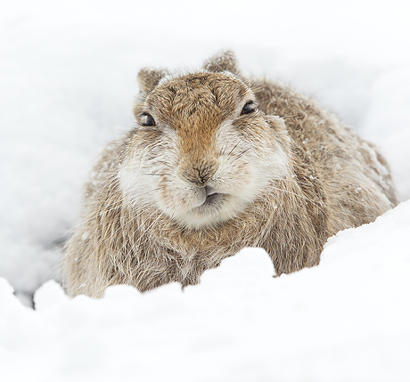 Mountain Hare resting (Lepus timidus), Scotland, March 2015