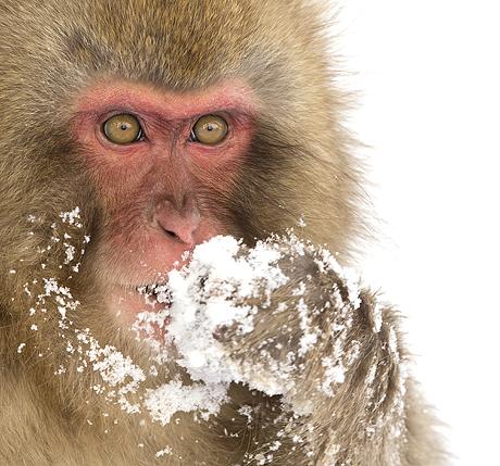 Snow Monkey (Macaca fuscata), Nagano, Japan, February 2015