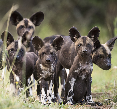 north_kenyan_wild_dogs_460_429