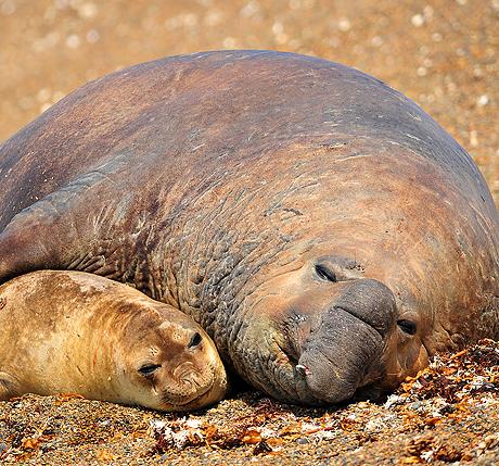 Seal, Southern Elephant Seal, Mirounga Leonina, Male and female maiting, Peninsula Valdes, Patagonia, Argentina