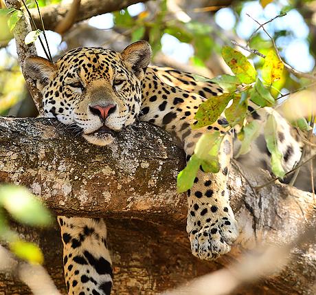 pantanal_jaguars_otters_460_429