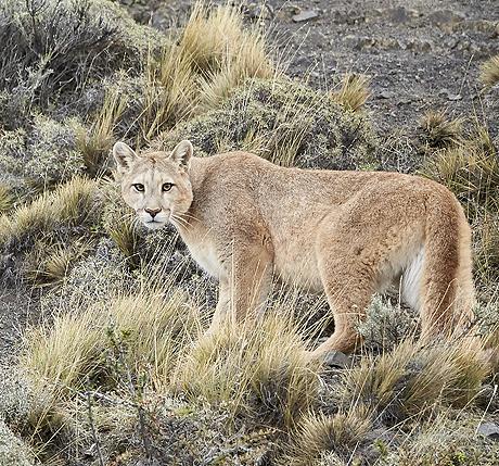 patagonias_pumas_460_429