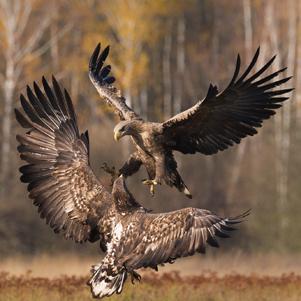 polish-golden-eagle-2-301