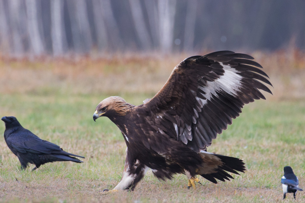 polish-golden-eagle-4