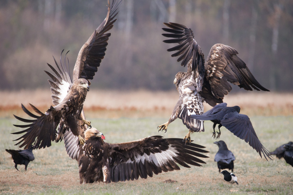 polish-golden-eagle-5