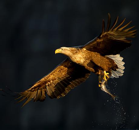 sea_eagles_460_429